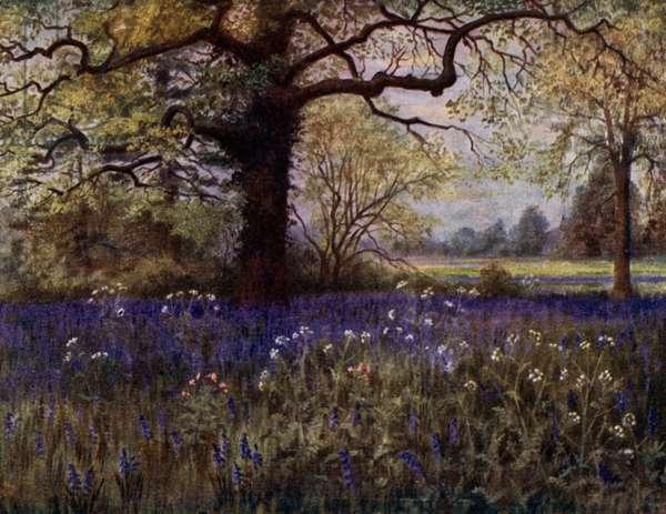 Kew Gardens: Wild Hyacinths (colour litho)