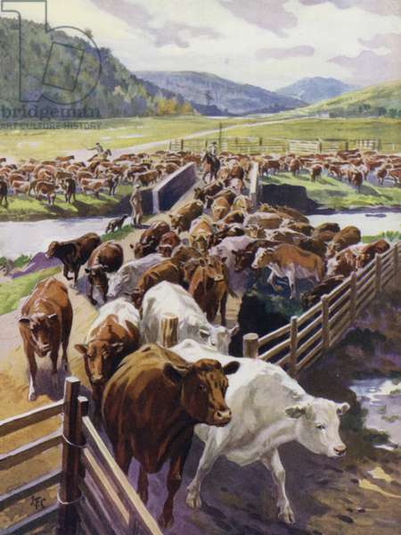 Cattle ranching in the Scottish Highlands (colour litho)