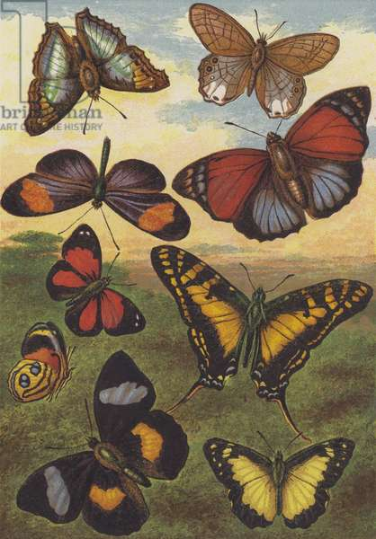 Tropical Butterflies (colour litho)