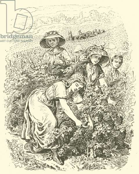 Picking grapes in Champagne (engraving)