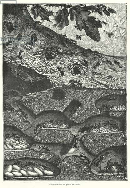 View of the interior of an ant colony at the foot of an oak tree (engraving)