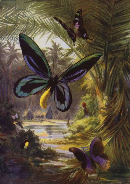 Beautiful Butterflies: Troides Alexandrae, the largest of all butterflies (colour litho)