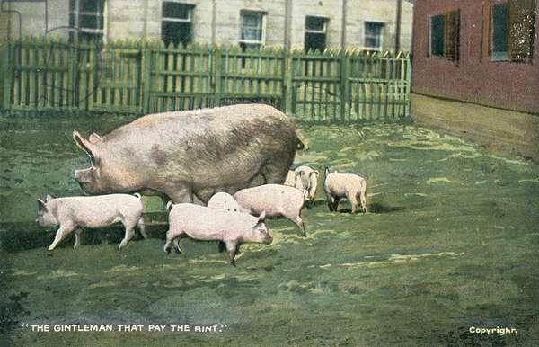 Pigs (colour photo)