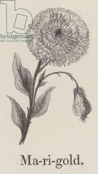 Marigold (engraving)