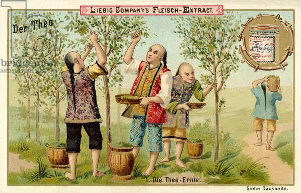 The tea harvest (chromolitho)
