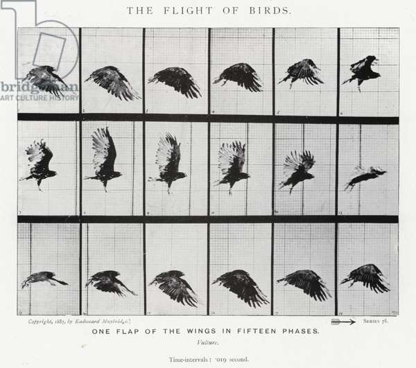 Eadweard Muybridge: The Flight of Birds (b/w photo)