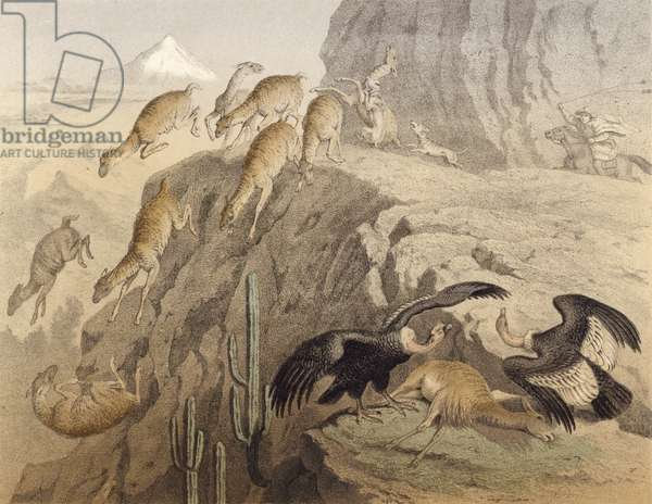 The Andes mountains in Peru, hunting the llama, the condor (chromolitho)