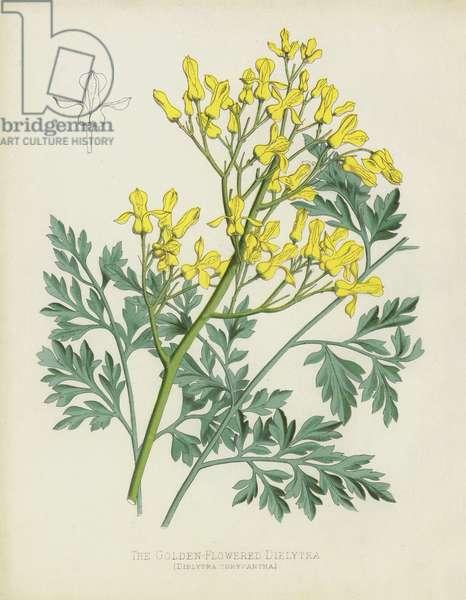 The Golden-Flowered Dielytra, Dielytra Chrysantha (chromolitho)