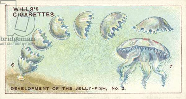 Development of the Jelly-Fish, 2, a remarkable family history (chromolitho)