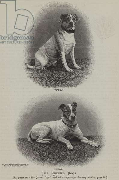 Queen Victoria's Jack Russell Terriers, Flo and Spot (engraving)