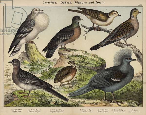 Columbae, Gallinae, Pigeons and Quail (colour litho)