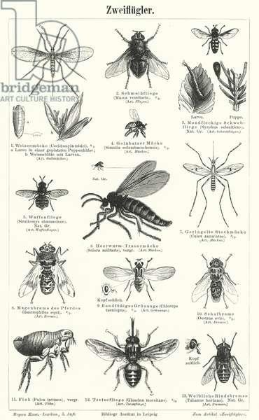 Flies (engraving)