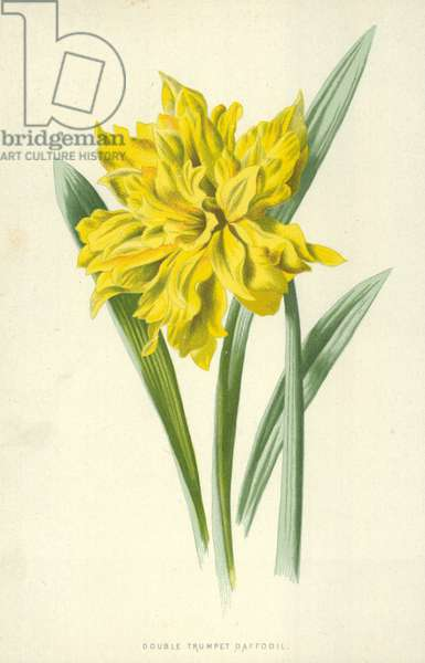 Double Trumpet Daffodil