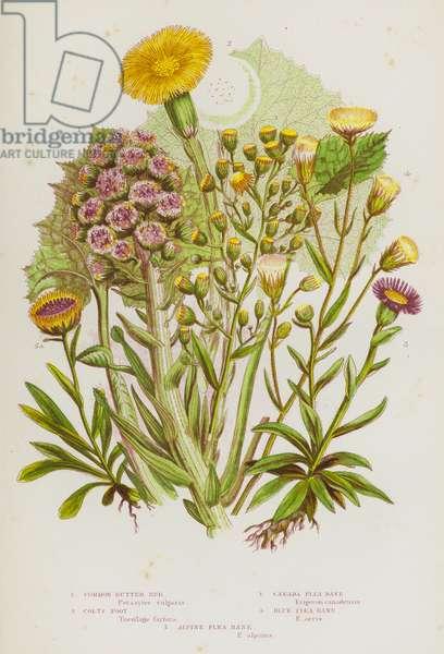 Flowering Plants of Great Britain: Common Butter Bur, Colts Foot, Canada Flea Bane, Blue Flea Bane, Alpine Flea Bane (colour litho)