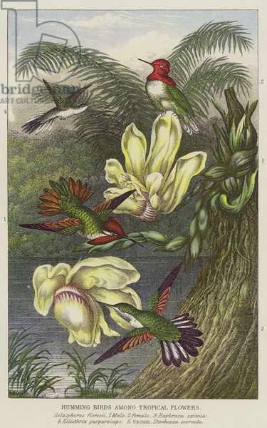 Humming birds among Tropical flowers (engraving)