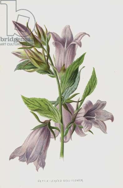 Nettle-Leaved Bell-Flower (chromolitho)