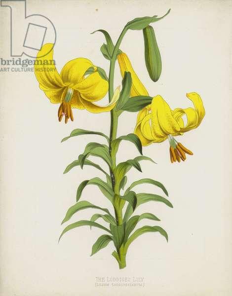 The Loddiges Lily, Lilium Loddigesianum (chromolitho)