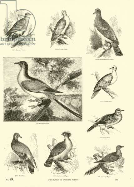 Page from The Pictorial Museum of Animated Nature (engraving)