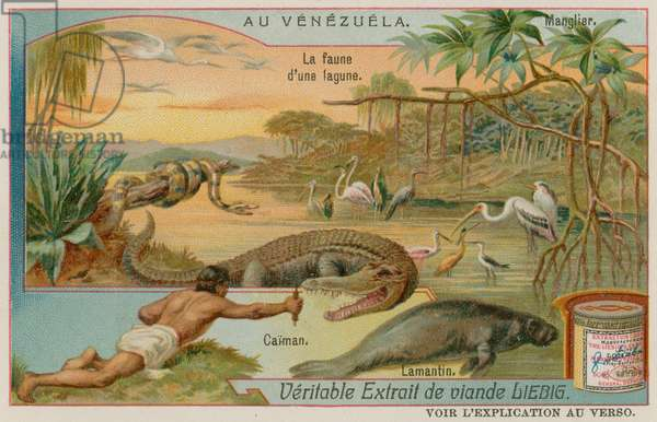 The Creatures of the Lagoon with an Alligator and a Manatee and a Mangrove Tree (chromolitho)
