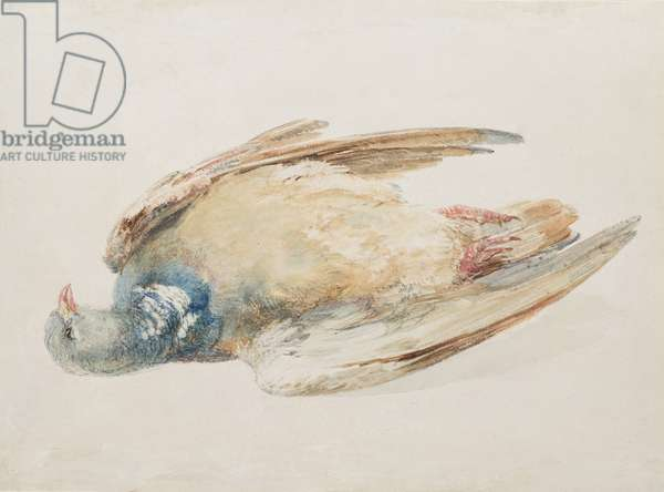 Pigeon, from The Farnley Book of Birds, c.1816 (pencil and w/c on paper)