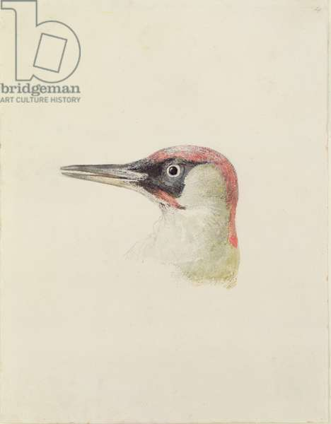 Woodpecker, from The Farnley Book of Birds, c.1816 (pencil and w/c on paper)