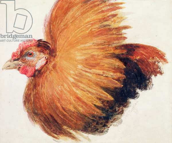 Game-Cock, from The Farnley Book of Birds, c.1816 (pen & ink and w/c on paper)