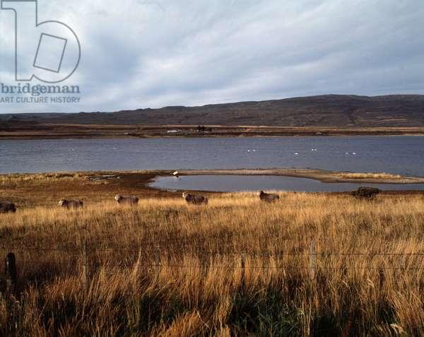 Sheep herds in Tierra del Fuego, Chile, 1983 - Sheep farming in Tierra del Fuego, Chile - 1983 - Photography