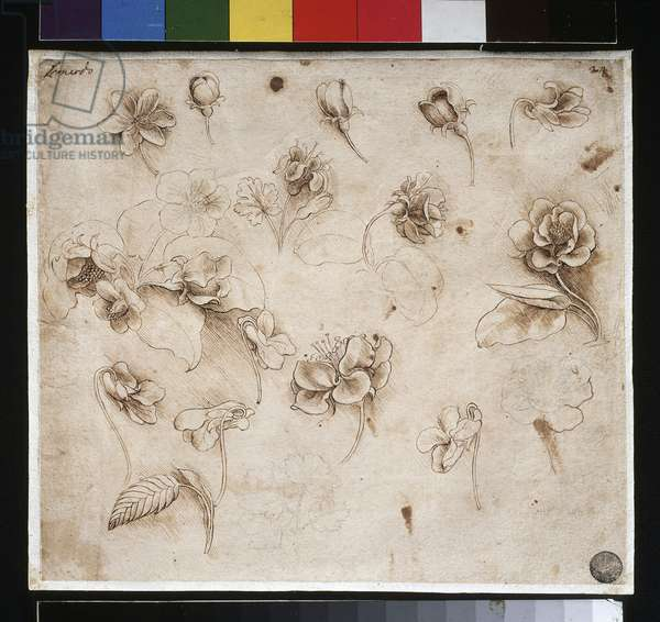 Study of flowers Drawing by Leonardo da Vinci (Leonard de vinci) (1452-1519) Venice, Gallery of the Accademia