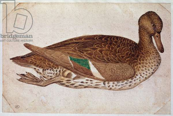 Female winter teal, swimming, in profile to the right, c. 1430-40 (watercolor, ink and black stone drawing)