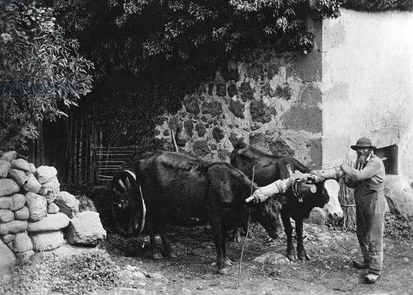 Hitch of oxen in Auvergne (b/w Photo, circa 1900)