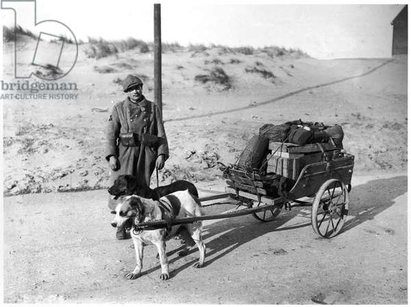 Dogs used to supply the troops, c.1915 (b/w photo)