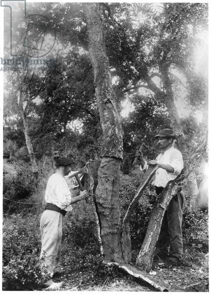 Stripping the bark off the cork oaks, c. 1900 (b/w photo)