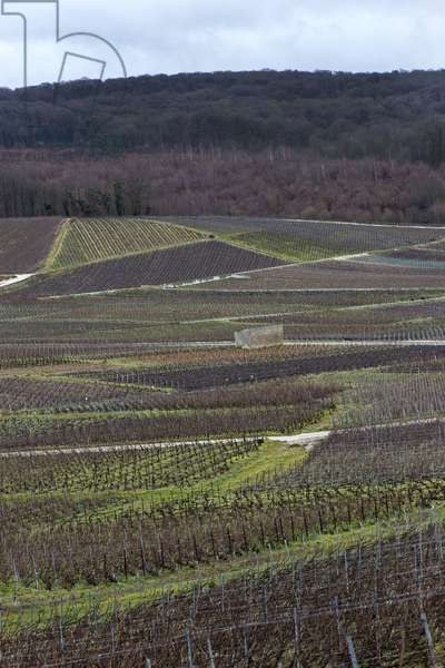 Vineyard in Champagne-Ardenne - France - Chatillon sur marne (Chatillon-sur-Marne)