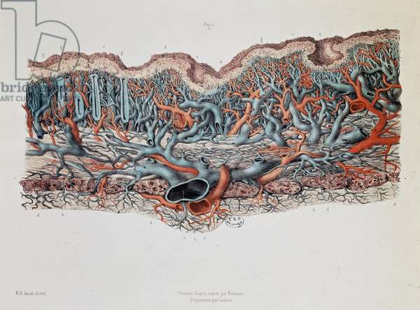 Macroscopic anatomy of the mucous membranes of the intestine, Claude Bernard, Bibl. of the faculty of medicine