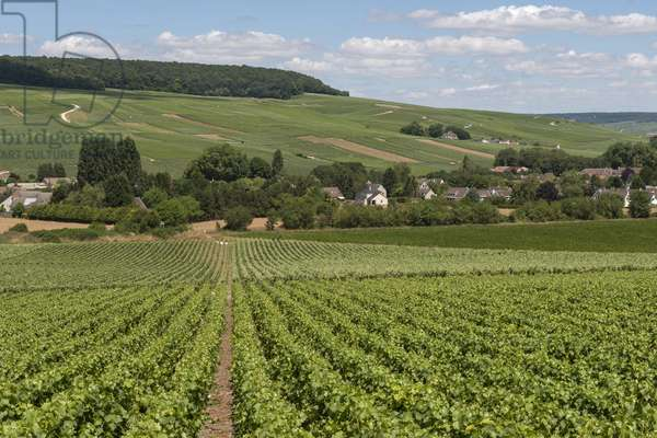 Vineyard in Champagne-Ardenne - France - Chavot