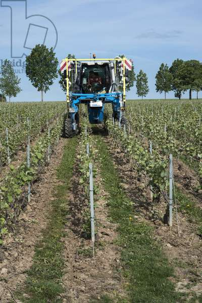 Vineyard in Champagne-Ardenne - France - Murigny