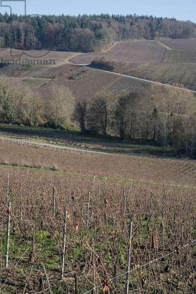 Vineyard in Champagne-Ardenne - France - Fleury la Riviere (Fleury-la-Riviere)