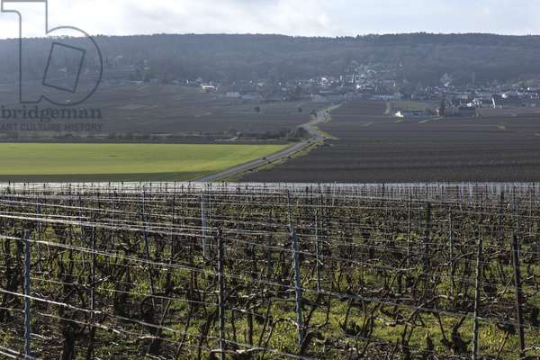 Vineyard in Champagne-Ardenne - France - Rilly la Montagne (Rilly-la-Montagne)