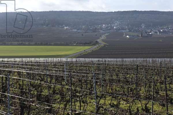 Vineyard in Champagne-Ardenne - France - Rilly la Montagne (Rilly-la-Montagne)