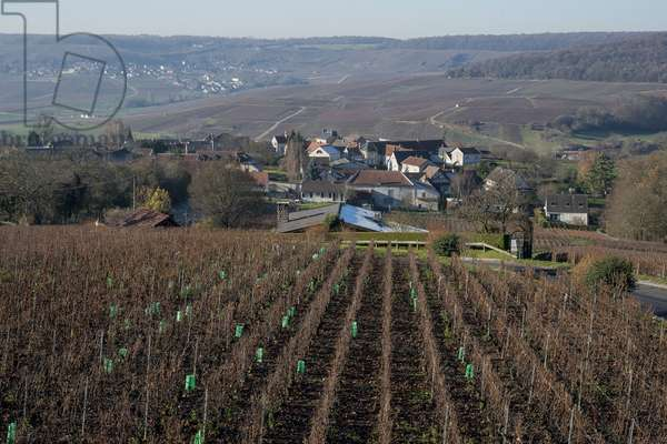 Vineyard in Champagne-Ardenne - France - Romery