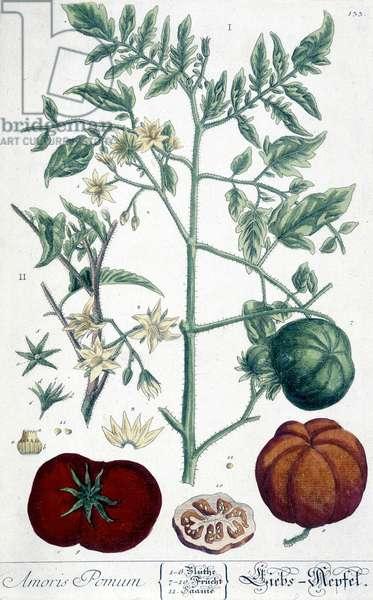 Tomato, botanical board, 19th century.
