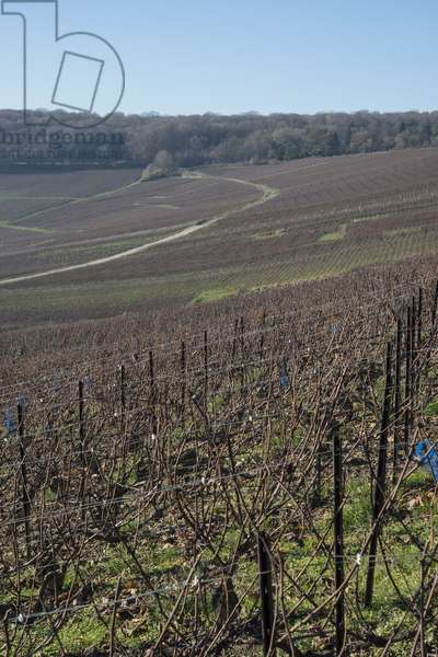 Vineyard in Champagne-Ardenne - France - Cormoyeux