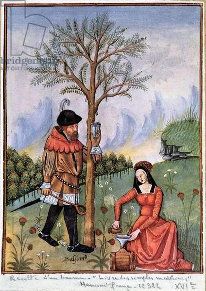 Harvesting a balm - Book of simple medicines, 16th century manuscript