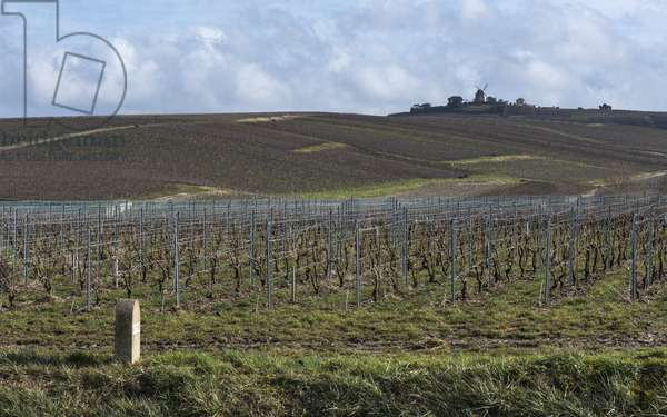 Vineyard in Champagne-Ardenne - France - Mailly