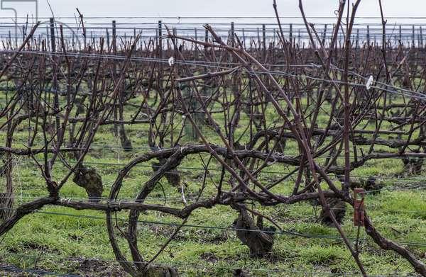 Vineyard in Champagne-Ardenne - France - Murigny