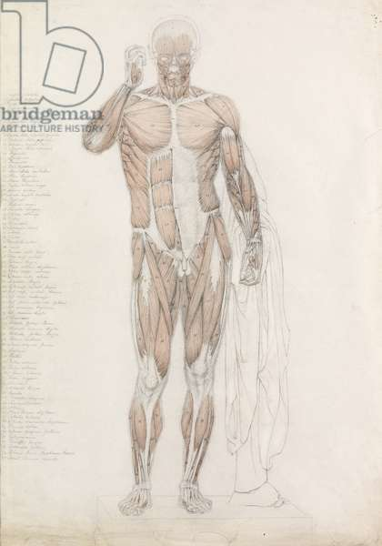 Anatomical Study: Human Musculature, in Contrapposto (pencil & wash on paper)