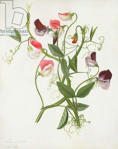 Lathyrus Odoratus (w/c and gouache over pencil on vellum)