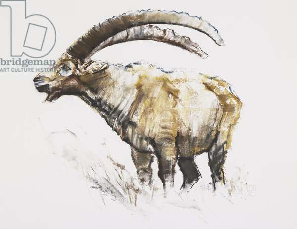 Ibex, Noasca (charcoal & conte on paper)