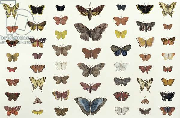A collage of butterflies and moths including the Camberwell Beauty, the British Swallowtail, the Scarce Swallowtail, the Peacock and the Small Tortoiseshell, c.1830 (print of 104967)