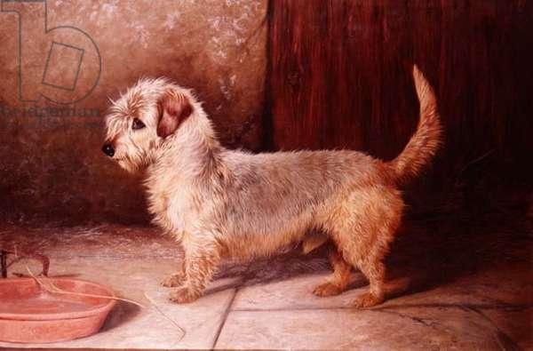 """Callun"", a Dandy Dinmont, 1895"
